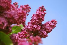 Free Lilac Flower Royalty Free Stock Photo - 13745075