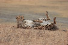 Free Cheetah Playing Stock Images - 13745104