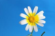 Free Daisy Background Stock Images - 13745594