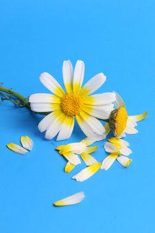 Free Daisy Background Royalty Free Stock Photos - 13745628
