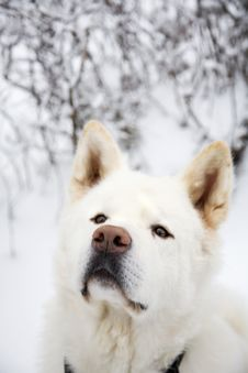 Free White Dog In Snow Stock Images - 13746154