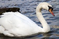 Free Swan In The River Vltava In Prague. Old Europe Royalty Free Stock Photos - 13746278
