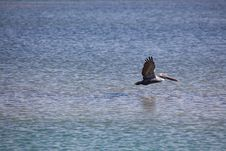 Free Flying Brown Pelican Royalty Free Stock Images - 13746609