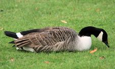 Free Canada Goose 2 Royalty Free Stock Image - 13747696