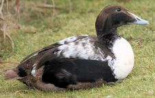 Free Male Eider Stock Photography - 13747812