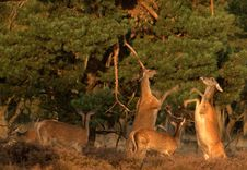Free Wildlife - Red Deer Stock Photos - 13748443