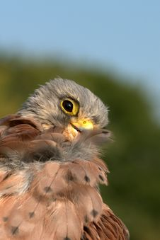 Free Kestrel (Falco Tinnunculus) Stock Images - 13748444