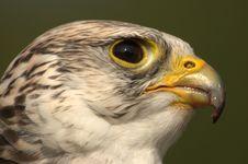 Gyr-Lanner Falcon Royalty Free Stock Photo