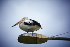 Free Pelican Atop A Street Lamp Royalty Free Stock Images - 13749409