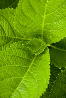 Free Vivid Green  Hydrangea Leaves Royalty Free Stock Photography - 13749797