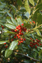 Free Red Berries Stock Photography - 13753752