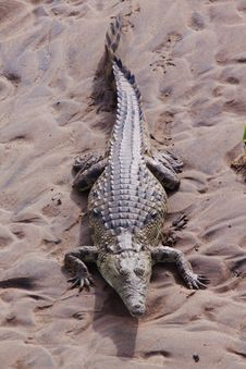 Free Basking Crocodile Stock Photos - 13750223
