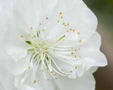 Free White Spring Blossom Royalty Free Stock Photo - 13750995