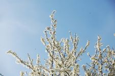 Free Spring Blossom Royalty Free Stock Image - 13751056