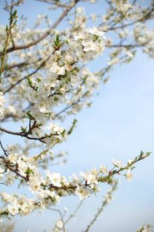 Free Spring Blossom Stock Photos - 13751093