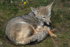 Patagonian Fox, Torres Del Paine National Park Stock Images