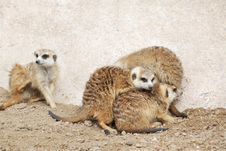 Free Meerkats Family Stock Photos - 13752253