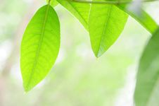 Free Fresh Leaves Stock Images - 13752274