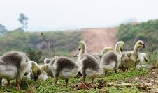 Free Baby Goose Stock Photography - 13752922