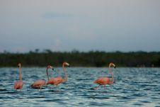 Free Flamingo Royalty Free Stock Photography - 13753027