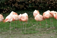 Free Flamingos Stock Photo - 13753070