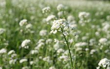 Free White Flower Stock Photo - 13753100