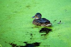 Duck In Pond Stock Photo