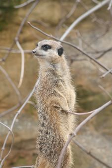 Free Meerkat Stock Photos - 13753353