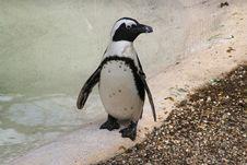 Free Penguin Royalty Free Stock Photos - 13753448