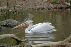 Free Great White Pelican 5 Stock Photos - 13753503