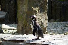 Free Humboldt Penguin - Spheniscus Humboldti Stock Image - 13753541