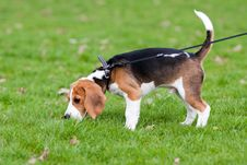 Beagle On Green Grass Stock Photos