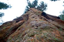 Free Giant Sequoia Tree Stock Images - 13755364