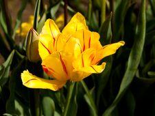Free Tulips Stock Photos - 13755493
