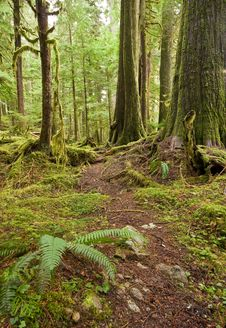 Old Growth Forest Path Royalty Free Stock Photo