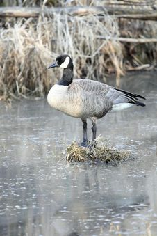 Free Canadian Goose Standing On A Bog In A Swamp. Stock Photography - 13756162
