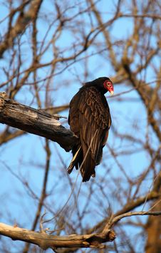 Free Turkey Vulture In Tree Stock Photo - 13756180