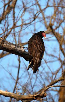 Turkey Vulture In Tree Stock Photo