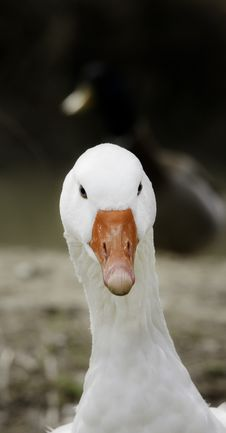 Free Goose Portrait Stock Photos - 13758393