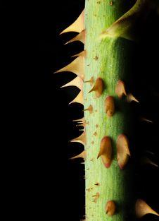 Free Thorns Royalty Free Stock Image - 13758596