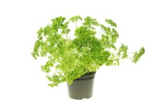 Free Fresh Growing Parsley Stock Image - 13759951