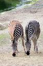 Free Zebra Pair Stock Photo - 13760410