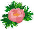 Free Pink Peony Royalty Free Stock Photography - 13761827