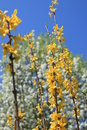 Free Forsythia With Bradford Pear Royalty Free Stock Photography - 13767117