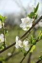 Free Spring Blossom Royalty Free Stock Photos - 13768048
