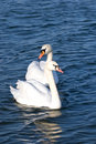 Free Two Lovers Swan Royalty Free Stock Photo - 13768225