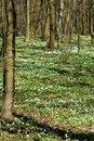 Free Wood Anemones Royalty Free Stock Image - 13769096
