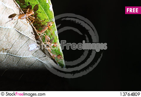 Free Ants Royalty Free Stock Images - 13764809