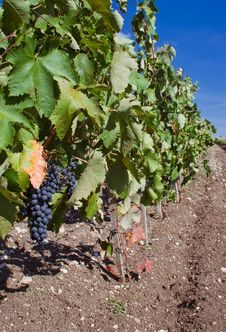 Free Grape And Cluster Royalty Free Stock Photography - 13760187