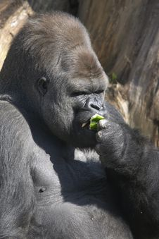 Free Adult Male Gorilla Royalty Free Stock Photography - 13760207